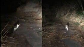 影/萬物有靈!深山中不幸迷路 神奇小白貓竟帶路前往國道 圖/翻攝自zc31s_Monster Twitter https://twitter.com/zc31s_Monster/status/960490926542962688