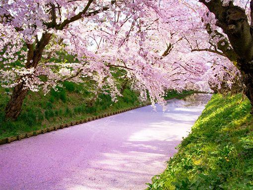 日本東北賞櫻,櫻花。(圖/易遊網提供)