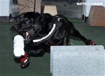 憲兵軍犬分隊進行不同軍犬實施氣味連結、初階搜索、偵爆能力、辦公室搜索、雜物堆搜尋及簡易炸彈爆破等操演。(邱榮吉/攝影)