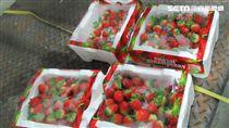 印度出口「TEESTA VALLEY EXPORTS LTD伯爵茶(EARL GREY TEA IN NYLON TEA BAG)」檢出殘留農藥含量不符規定 圖/食藥署  韓國出口「JOON INTERNATIONAL草莓(FRESH STRAWBERRIES)」檢出殘留農藥含量不符規定