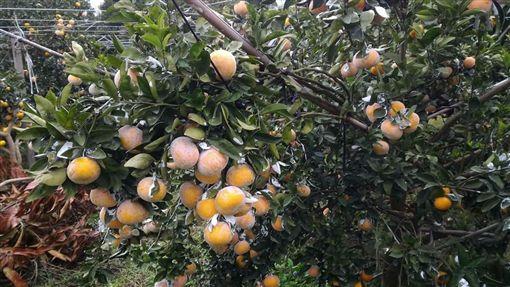 柑橘,茂谷柑,水果,白色粉末,農藥,石灰粉,碳酸鈣,防曬(圖/翻攝自爆料公社)