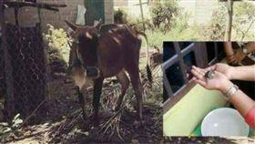 印尼一隻母牛產下一隻小牛和一隻小烏龜(圖/翻攝自Zakaria Hashim臉書)