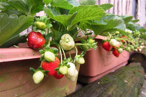 內湖,白石湖休閒農業區,草莓,白石湖吊橋,夫妻樹,齊心池,採草莓
