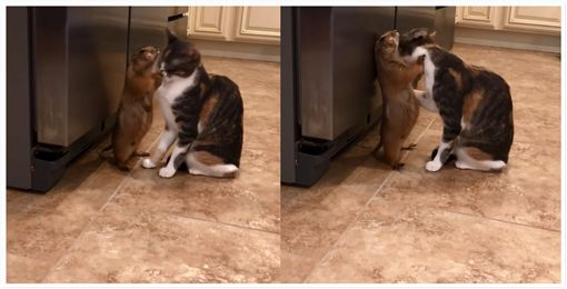 貓咪,喵星人,土撥鼠,舔毛,相親相愛,舒適,寵物,毛小孩 圖/翻攝自sanderszoo Instagram