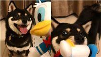 柴犬,黑柴,唐老鴨,玩具,玩偶,娃娃,食物 圖/翻攝自IG