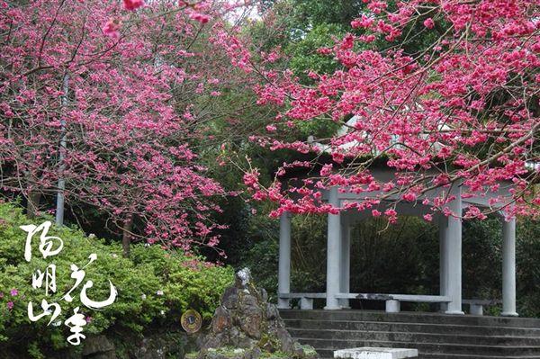 陽明山花季,櫻花。(圖/翻攝自陽明山花季FB)