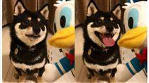 柴犬,黑柴,柴柴,寵物,毛小孩,汪星人,日本,唐老鴨,烤鴨 圖/翻攝自mamemarukun Instagram