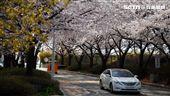 韓國旅遊,韓亞航空,空姐,訓練中心,櫻花,賞櫻,櫻花隧道。(圖/記者簡佑庭攝)'
