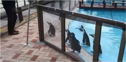 企鵝,溜溜球,日本,動物園,擺頭,靜岡,淡島海洋公園 圖/翻攝自推特