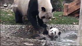 網友觀察熊貓日常生活 竟意外找出熊貓瀕臨絕種「真相」 圖/翻攝自寵萌部落格微博 https://www.weibo.com/2896250615/G4FL3ahzK?type=comment#_rnd1519656339580
