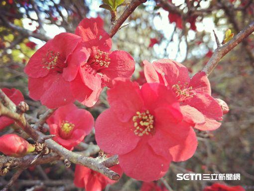 旅遊,櫻花,阿里山。(圖/嘉義林管處供給)