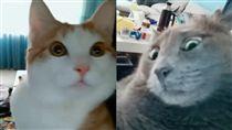 短片,抖音,越南,貓咪,喵皇,喵星人,寵物,厭世,毛小孩 圖/翻攝自Đảo Mèo臉書