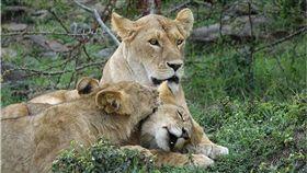 南非,獅子,野生動物保護區 ,普勒托利亞 圖/Pixabay