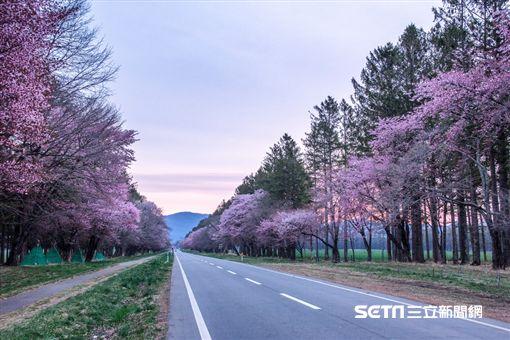 櫻花,賞櫻,日本,北海道,二十間道路櫻並木。(圖/KAYAK提供)
