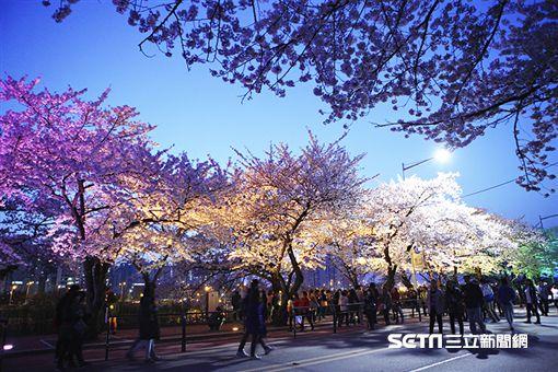 櫻花,賞櫻,韓國,首爾,汝矣島輪中路(圖/KAYAK提供)