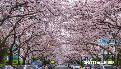 櫻花,賞櫻,韓國,釜山,南川洞櫻花道(圖/KAYAK提供)