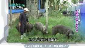 聽音樂吃酵母!鄉間木造肉舖養精品豬