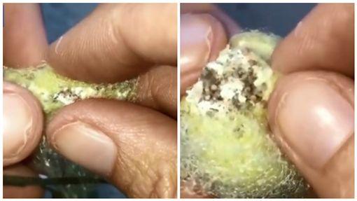 澳洲昆士蘭一名女飼主麗莎(Lisa)動手撥開蜘蛛卵囊接生(圖/翻攝自每日郵報)