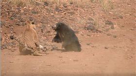 小熊險遭獵食 熊媽母愛噴發擊退老虎(圖/翻攝自The Bamboo Forest Safari Lodge,Tadoba臉書) https://www.facebook.com/thebambooforestsafarilodge/videos/2338760886150205/