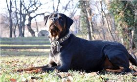 狗,羅威那犬 圖/pixabay