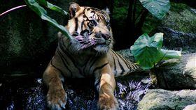 蘇門答臘虎(圖/翻攝自維基百科) https://zh.wikipedia.org/wiki/%E8%8B%8F%E9%97%A8%E7%AD%94%E8%85%8A%E8%99%8E#/media/File:Tiger_Melbourne.JPG