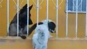白狗為愛翻牆,暖心,德國牧羊犬(圖/翻攝自Edith Govea Facebook