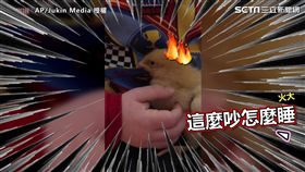 小男孩試圖唱童謠哄小雞睡覺,小雞似乎不太領情。