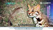 台灣亮起來/堅守保育崗位 「石虎媽媽」搏命搶救瀕危石虎'