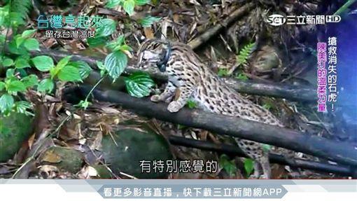 台灣亮起來/堅守保育崗位 「石虎媽媽」搏命搶救瀕危石虎