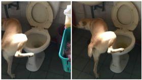 狗狗「雪莉」對準馬桶尿尿(圖/翻攝自米克斯傳奇臉書社團)