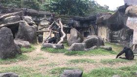 台北木柵動物園 傳2隻黑猩猩逃脫(圖/翻攝畫面)
