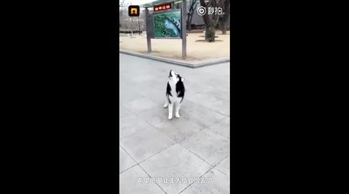 哈士奇(圖/翻攝Wei Zhang YouTube)