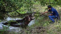 墨西哥出現的河馬(圖/達志影像/美聯社)