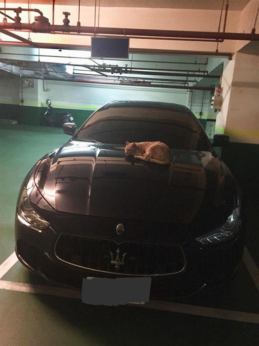 貓,停車場,瑪莎拉蒂,超跑,引擎蓋,取暖,喵星人(圖/翻攝自爆廢公社公開版)