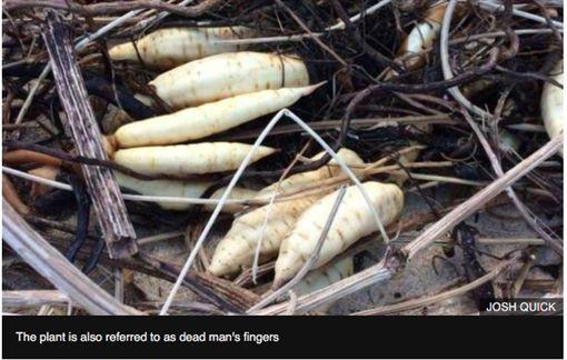 刺松藻,英國,沙灘,白蘿蔔,死人手指,劇毒。(圖/翻攝BBC)