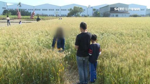 糟蹋農作物! 遊客為拍美照踩踏金黃麥田