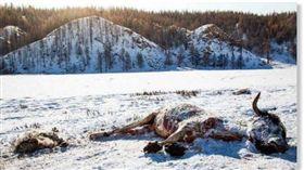蒙古寒冬凜冽,凍死70多萬頭家畜破紀錄(圖/翻攝自推特)