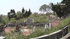 墓地盜龍柏1800