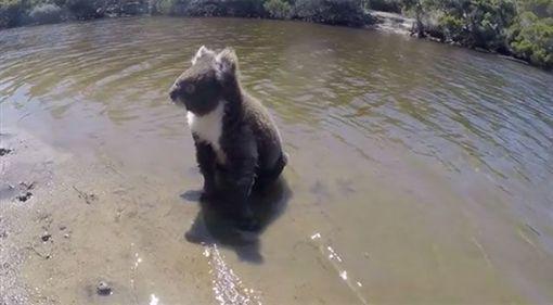 澳洲,無尾熊,游泳,睡覺,影片,臉書 圖/翻攝自臉書