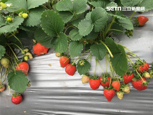 白石湖,內湖草莓季,採草莓,內湖區,草莓,盛產期