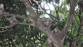 台灣獼猴,獼猴(圖/翻攝自二水台灣獼猴生態教育館臉書)