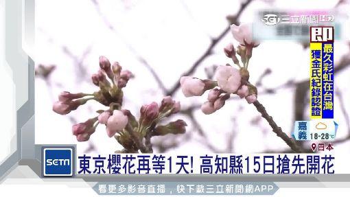 日本櫻花季起跑! 高知縣15日搶先開花