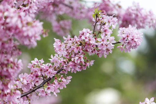 新竹,賞櫻,櫻花