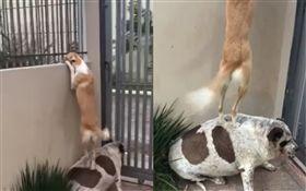 狗狗爬牆約會!同伴無辜縮牆角當肉墊 (圖/翻攝自Francine Baggio臉書)