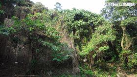 森林,綠癌,外來入侵植物,小花蔓澤蘭,植物,棲地,新北市農業局