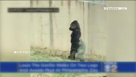 猩猩超像人1700