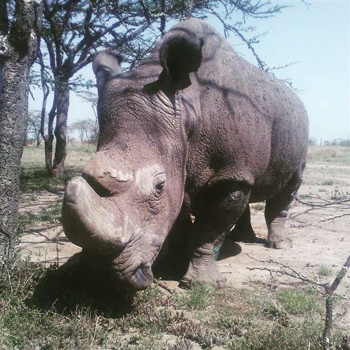 北非,白犀牛,安樂死,保護區,感染,繁育(圖/翻攝自臉書Ol Pejeta Conservancy)