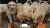狗,黃金獵犬,寵物,小狗,毛小孩,吃飯,飼料(圖/Pixabay)