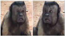 猴子,人臉猴,大陸,動物園,黑帽懸猴,浙江,寧波,雅戈爾動物園/YouKu