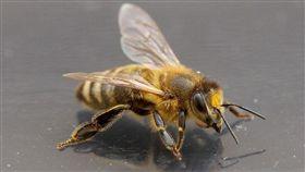 示意圖/蜜蜂(圖/翻攝自Pixabay)